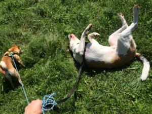 balade canine troinex