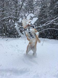 randonnée canine salève