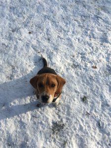 Beagle parc bertrand geneve